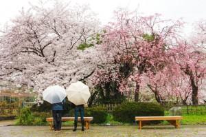 สวนแห่งการพักผ่อนและชมดอกซากุระที่มีชื่อเสียง
