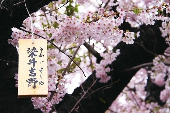 เทศกาลดอกวากุระบานที่ญี่ปุ่น