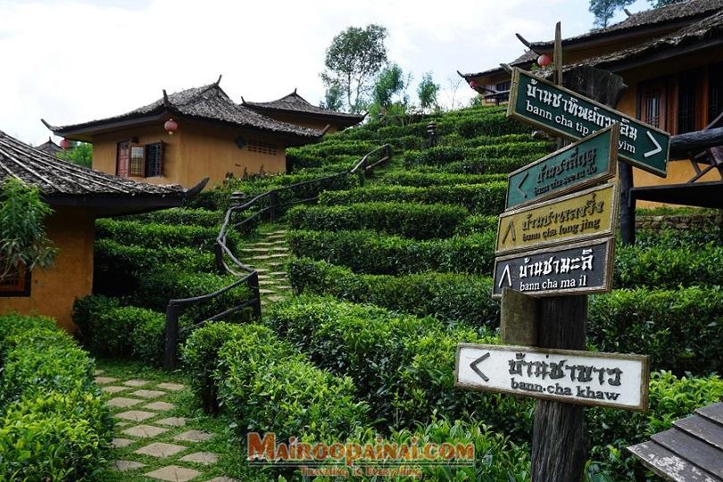 เที่ยวแม่ฮ่องสอน-เที่ยวไร่ชา-สวัสดีเพื่อนๆผู้ที่รักการท่องเที่ยว วันนี้ไกด์พาไปจะพาทุกท่านเดินทางไปเที่ยวที่ ลีไวน์รักไทย รีสอร์ท บ้านรักไทย จ.แม่ฮ่องสอน เที่ยวชมไร่ชาชื่อดังที่หมู่บ้านรักไทย แหล่งปลูกชาชั้นดี ที่มีคุณภาพ พร้อมบรรยากาศ โดยรอบสบายๆแบบชาวจีนยูนนาน ชิมอาหารท้องถิ่นที่น่าสนใจ รสชาติอร่อย มีให้เลือกหลากหลายเมนู ใครที่มีโอกาศได้แวะมาเที่ยวชม จะตกหลุมรักที่นี้อย่างแน่นอน ดื่มด่ำกับธรรมชาติในบรรยากาศแห่งแมกไม้และขุนเขา เพียงแห่งเดียวที่คุณจะได้สัมผัสกับสายหมอกในยามเช้า ท่ามกลางไร่ชาพันธุ์ดี ที่ล้อมรอบไปด้วยภูเขา ด้านหน้าเป็นทะเลสาบ มีอากาศเย็นสบายตลอดทั้งปี สามารถชมพระอาทิตย์ขึ้นและสายหมอกได้ในตอนเช้า อีกหนึ่งบรรยากาศสุดแสนจะโรแมนติคของลีไวน์รักไทย รีสอร์ท และยังมีไวน์ผลไม้รสเลิศ และอาหารจีนยูนนานกว่า70 เมนู จากร้านอาหารของทางรีสอร์ท สำหรับท่านที่ชื่นชอบการดื่มไวน์ทางรีสอร์ทมีไวน์ผลไม้ที่ทำเองแบบท้องถิ่นให้ลิ้มลองกันและสามารถ นำไปเป็นของฝากได้หลากหลาย เช่น ไวน์ท้อ ไวน์พลัม ไวน์มะขามป้อม และไวน์สับปะรด ฯ เลือกชิมเลือกซื้อกลับไปได้ตามความชอบ ราคาไม่แพง นอกจากนี้ยังมีผลิตภัณฑ์ที่ขึ้นชื่อของลีไวน์รักไทย รีสอร์ทเลยนั้นก็คือ ชาอบแห้ง มากมายหลายรสชาติ ดื่มแล้วดีต่อสุขภาพ ไม่ว่าจะเป็น ชาอูหลง ชายอดน้ำค้าง ชาเหมยลี่ ชาข้าวหอม ฯ ซึ่งแต่ละตัวก็มีสรรพคุณต่างกันออกไป อีกทั้งยังมีผลไม้อบแห้งอย่าง บ๊วย สตอเบอร์รี่ พลัม ท้อ เกากี๋ หรือ อัลมอนต์ แมคคาเดเมีย ให้เลือกซื้อกัยอย่างมากมายอีกด้วย การเดินทางมา ลีไวน์รักไทย รีสอร์ท หมู่บ้านรักไทย จังหวัดแม่ฮ่องสอน รถบัสโดยสารประจำทาง จากกรุงเทพฯมาโดยรถบัสโดยสารประจำทาง กรุงเทพฯ-แม่ฮ่องสอน ใช้เวลาเดินทางประมาณ 16 ชม. ค่ารถอยู่ที่ประมาณ 788 ต่อคน ถ้าจากเชียงใหม่จะใช้เวลาเดินทางมาแม่ฮ่องสอน ประมาณ 8 ชม. จากนั้นมาลงที่ตัวเมืองแม่ฮ่องสอน และต้องหารถต่อมาลงที่คิวรถสองแถวเพื่อขึ้นหมู่บ้านรักไทย จะเป็นรถสองแถวสีเหลือง สาย แม่ฮ่องสอน-บ้านรักไทย มีรอบเวลา 8.00 น. และ 12.00 น. ขาขึ้นลีไวน์รักไทยรีสอร์ท บ้านรักไทย มีรอบเวลา 9.00 และ13.00 ราคาคนละประมาณ 150 บาท รถจะผ่านหน้า ลีไวน์รักไทยรีสอร์ท เครื่องบิน จากกรุงเทพฯต้องมาต่อเครื่องที่เชียงใหม่เท่านั้นเพื่อมาที่แม่ฮ่องสอน จะไม่มีเครื่องบินตรงจากกรุงเทพฯมาแม่ฮ่องสอน โดยมีแค่สองสายการบินที่ให้บริก